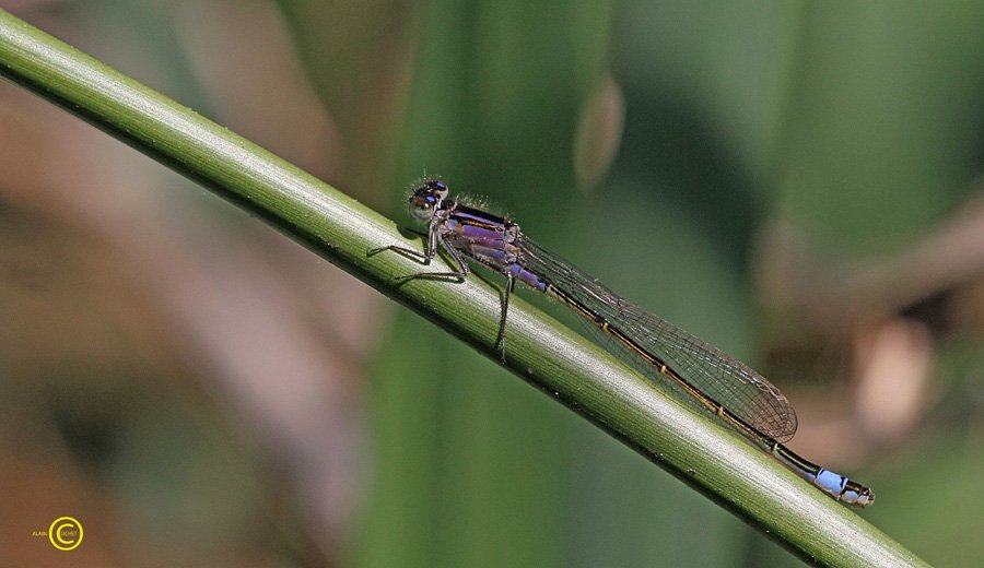 Dans le livre de la saison 2012, tournons la page de l'Agrion élégant  dans Ischnura elegans IMG_0522