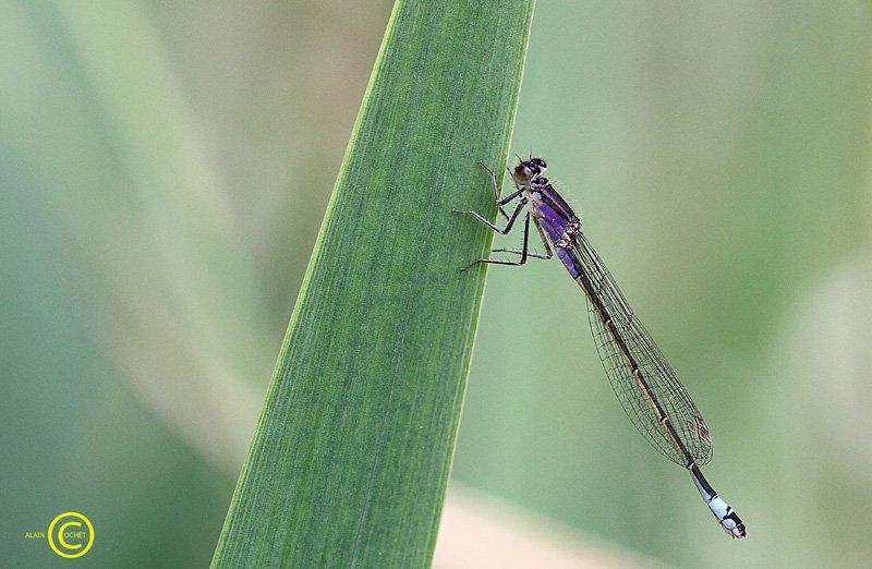 En lilas, quelle élégance ! dans Ischnura elegans IMG_1519