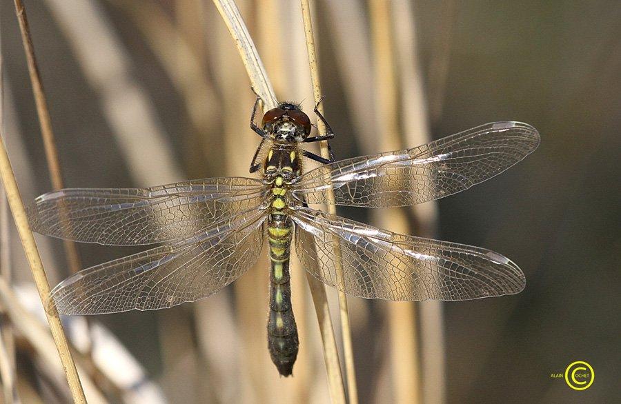 IMG_3689 dans Leucorrhinia caudalis