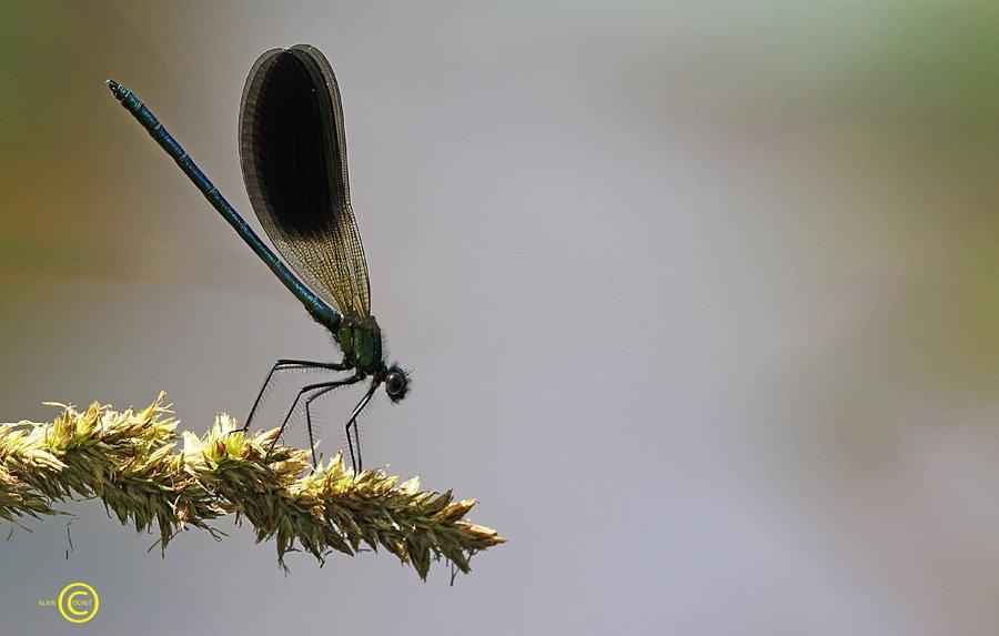 Ils sont de retour ! dans Calopteryx xanthostoma IMG_3995