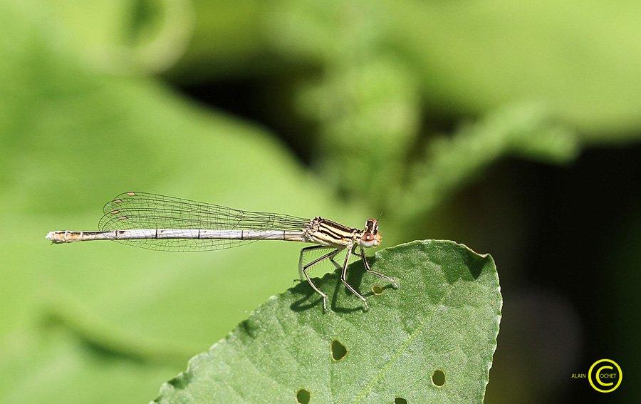 IMG_4723 dans Platycnemis pennipes
