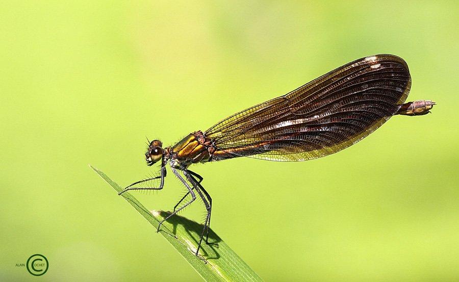 Comment ne pas craquer ... dans Calopteryx virgo IMG_5082