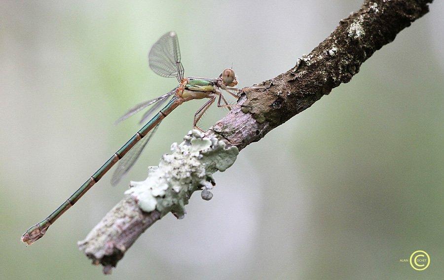 IMG_5956 dans Lestes viridis