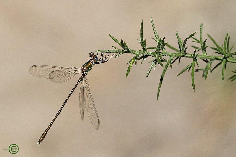 IMG_1414 dans Lestes viridis