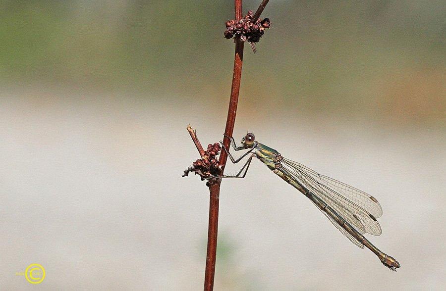 IMG_2098 dans Lestes viridis