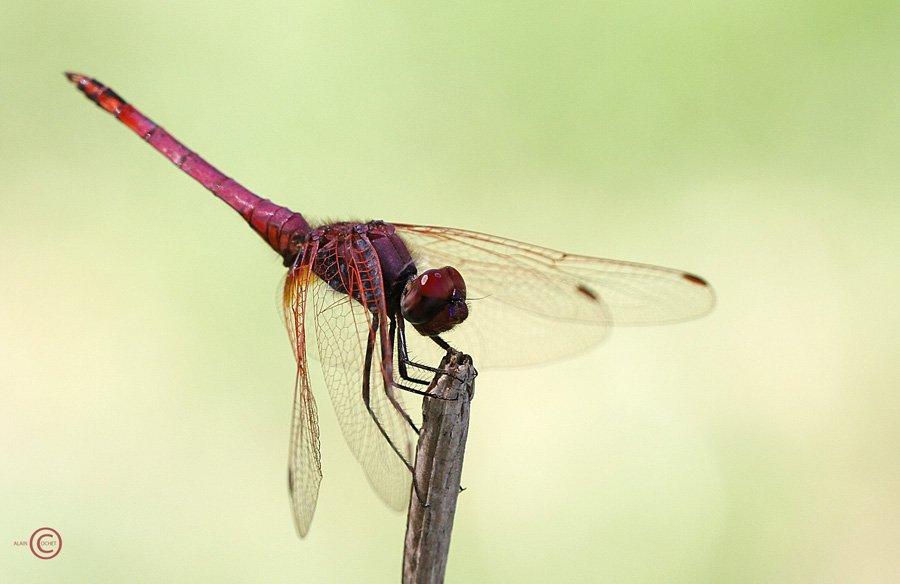 img_4963 dans Trithemis annulata