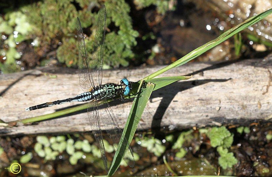 Oh, la belle bleue ! dans Acisoma panorpoides img_4992
