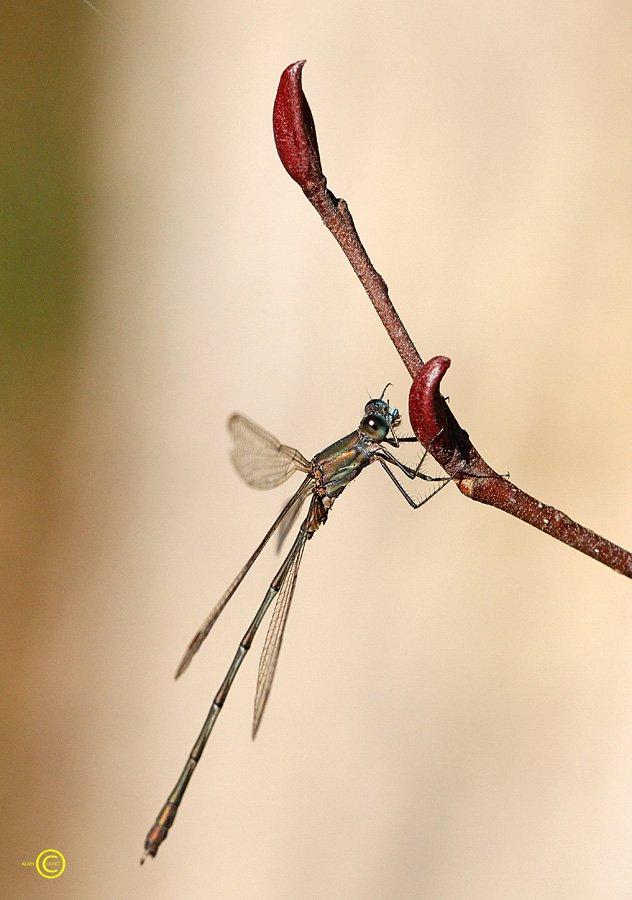 mg_8306 dans Lestes viridis