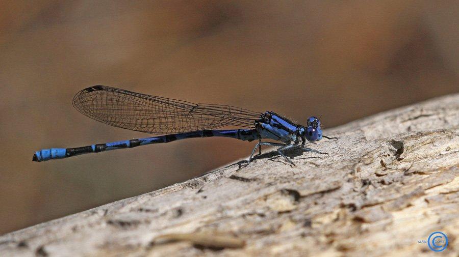 En bleu et noir  dans Argia vivida argia-vivida-1