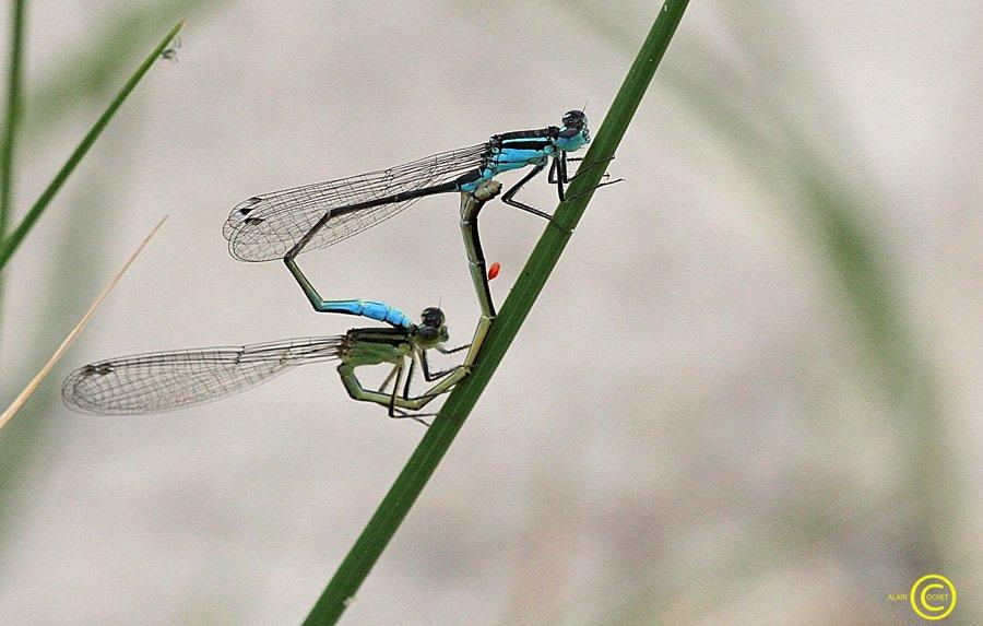 Le passager clandestin dans Ischnura elegans img_6652