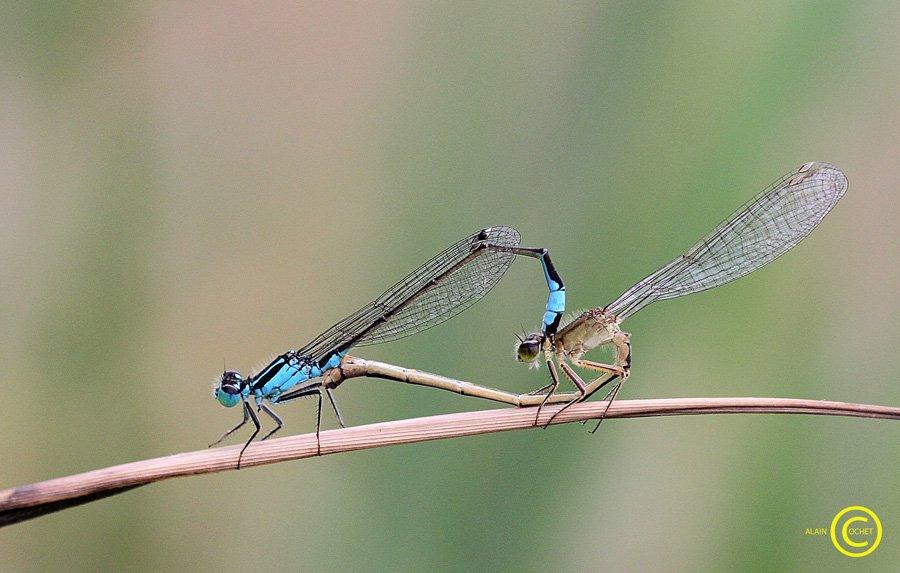 img_6762 dans Ischnura elegans