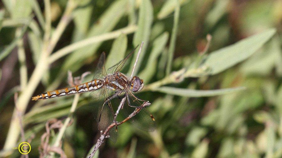 sympetrum-corruptum-variegated-meadowhawk-3 dans USA