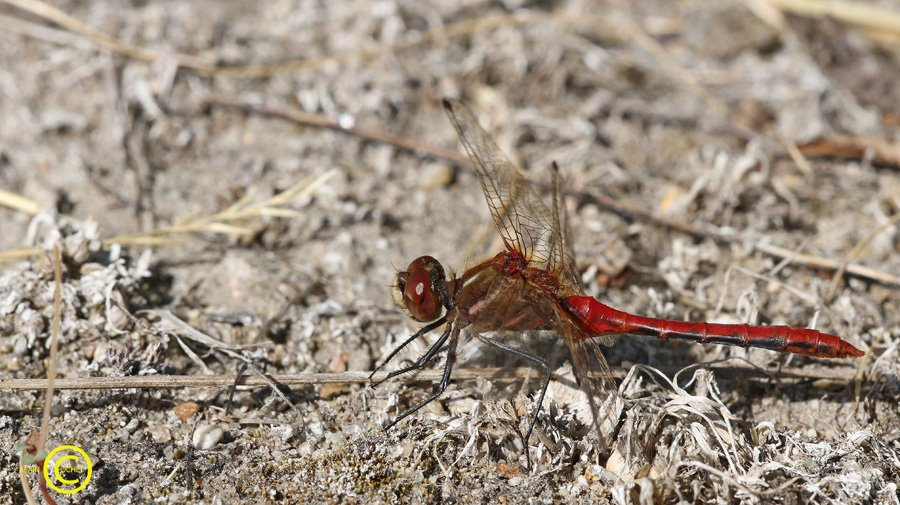 sympetrum-pallipes-11 dans USA