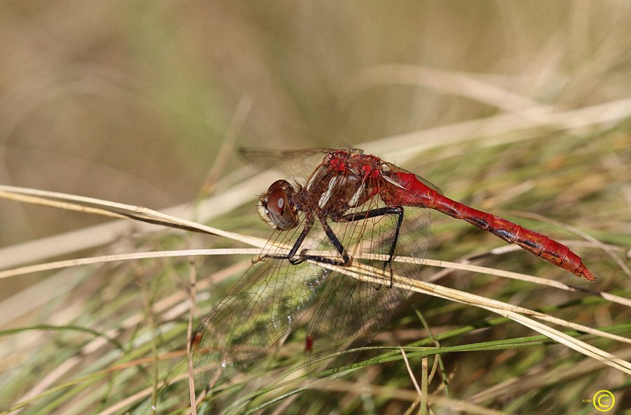 sympetrum-pallipes-12