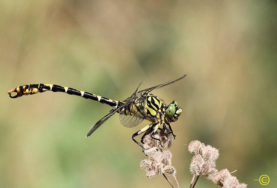 Elles vous le disent avec des fleurs... dans Calopteryx virgo img_0584