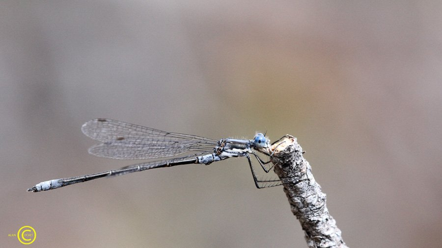 lestes-congener-spotted-spreadwing-1 dans USA
