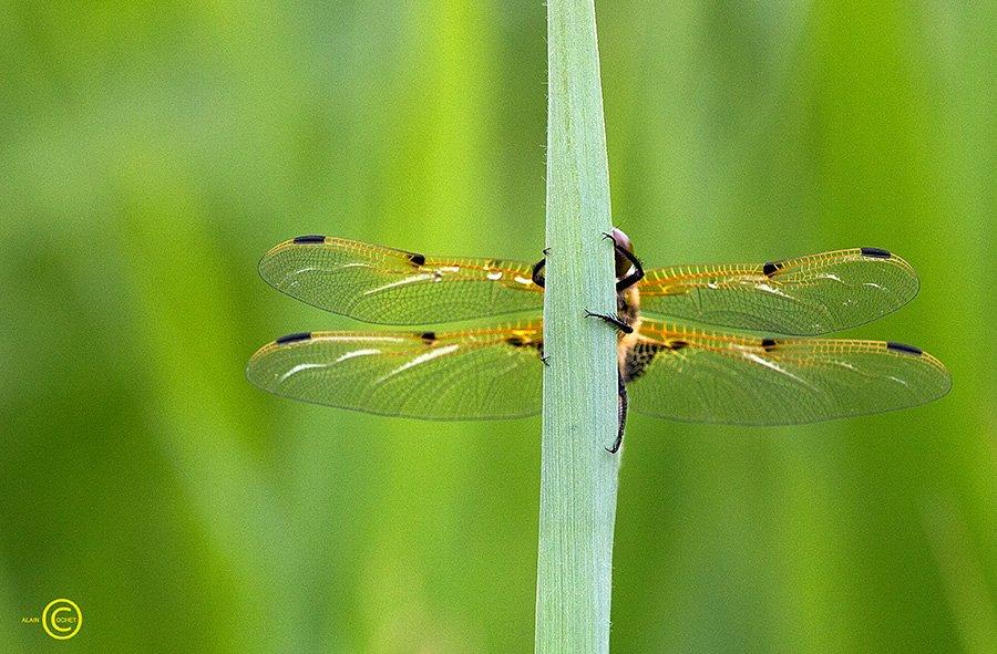 img_4040 dans Libellula quadrimaculata