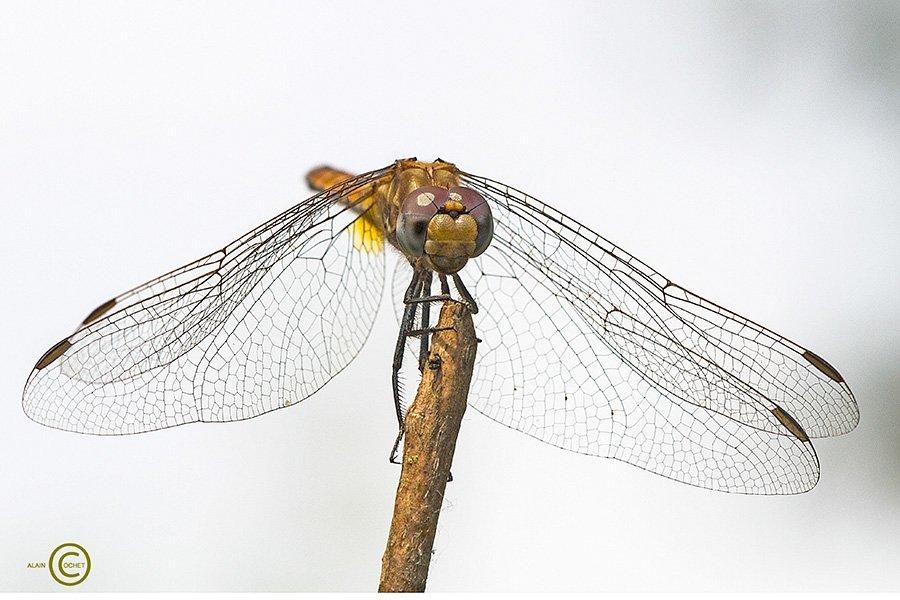 img_7311 dans Trithemis annulata