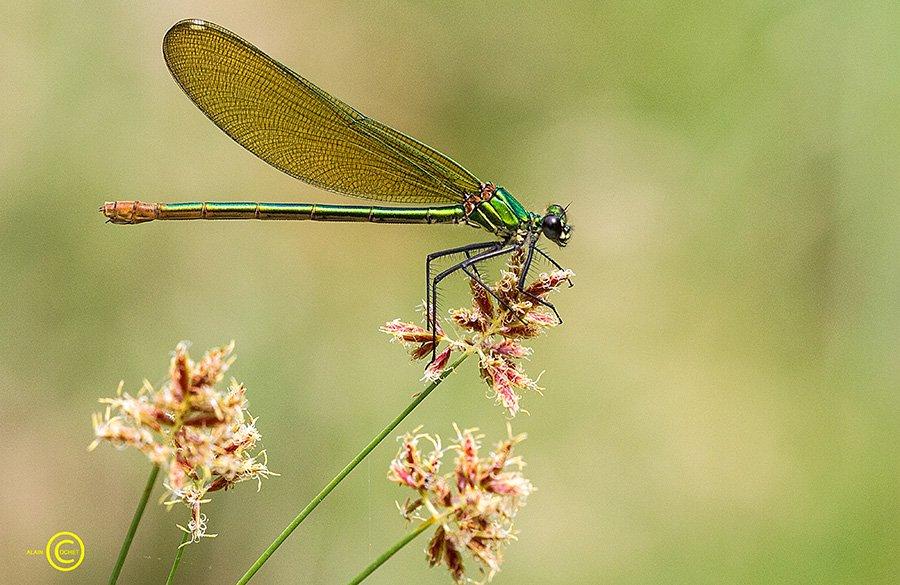 img_7937 dans Calopteryx virgo