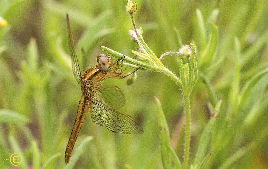 Les Everglades de Moliets  dans Crocothemis erythraea img_8053