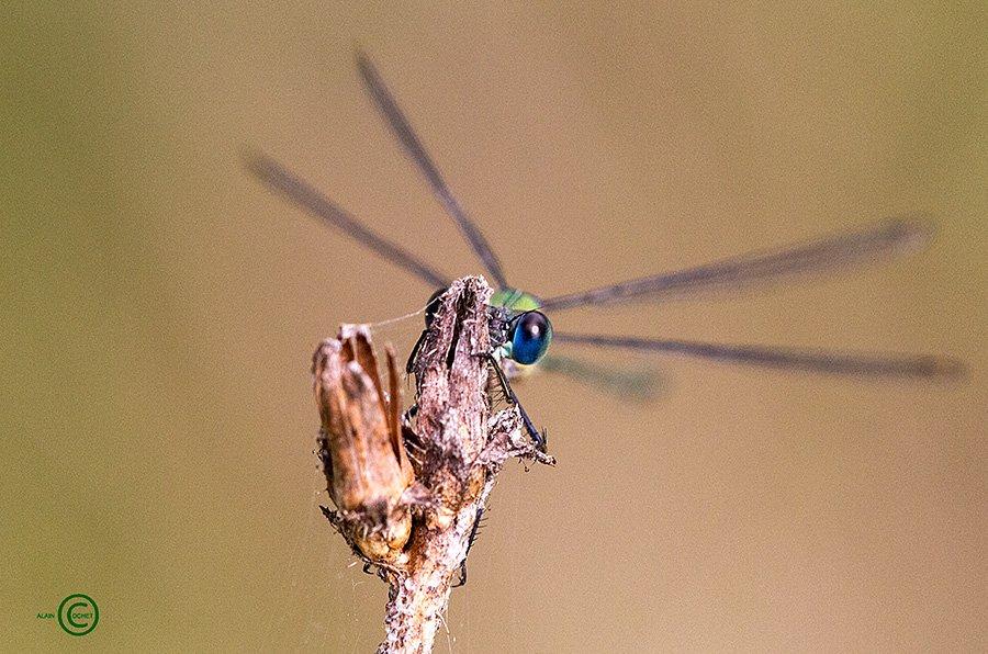 img_1003 dans Lestes viridis