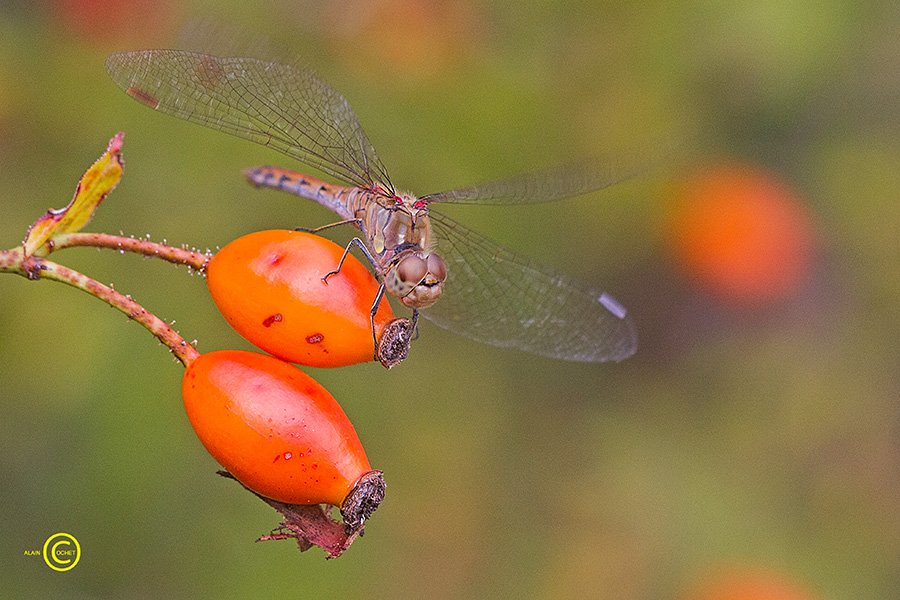 img_1155 dans Ischnura elegans