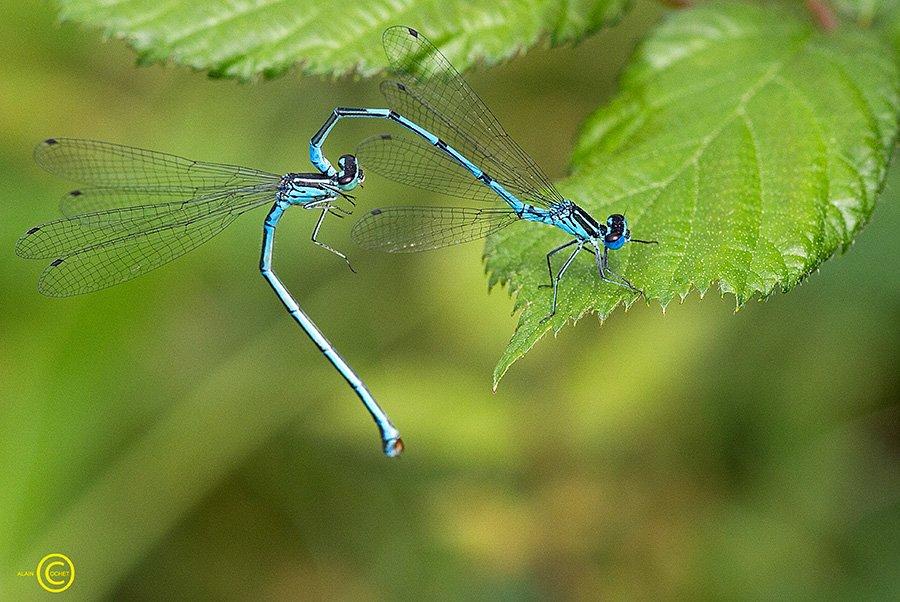 Les acrobates sont amoureux dans Ceriagrion tenellum img_6252