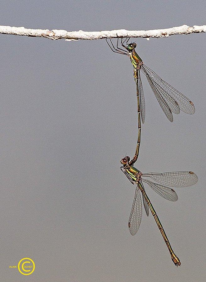 img_2253 dans Lestes viridis