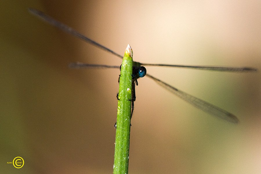 img_2416 dans Ischnura elegans