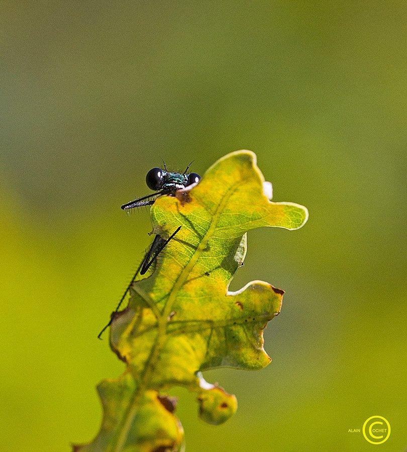 L'inconnu du 31 octobre dans Calopteryx virgo img_4452