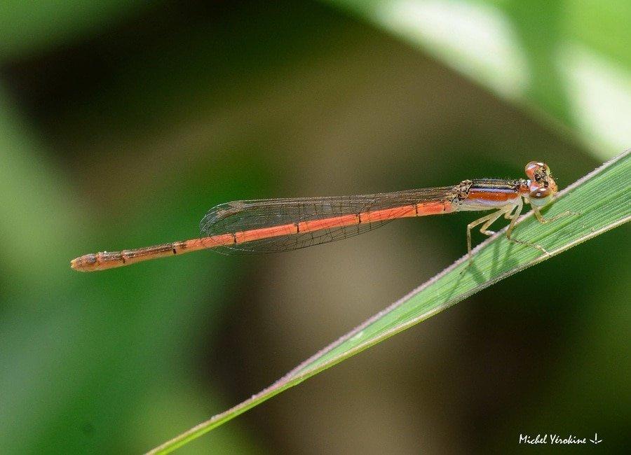 Agriocnemis exilis femelle forme orange