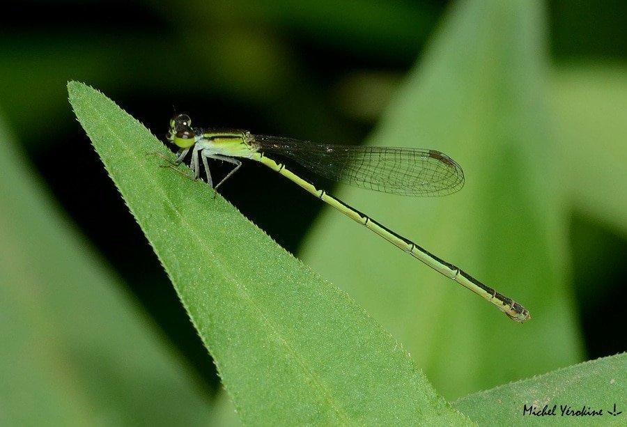 Agriocnemis exilis femelle forme verte