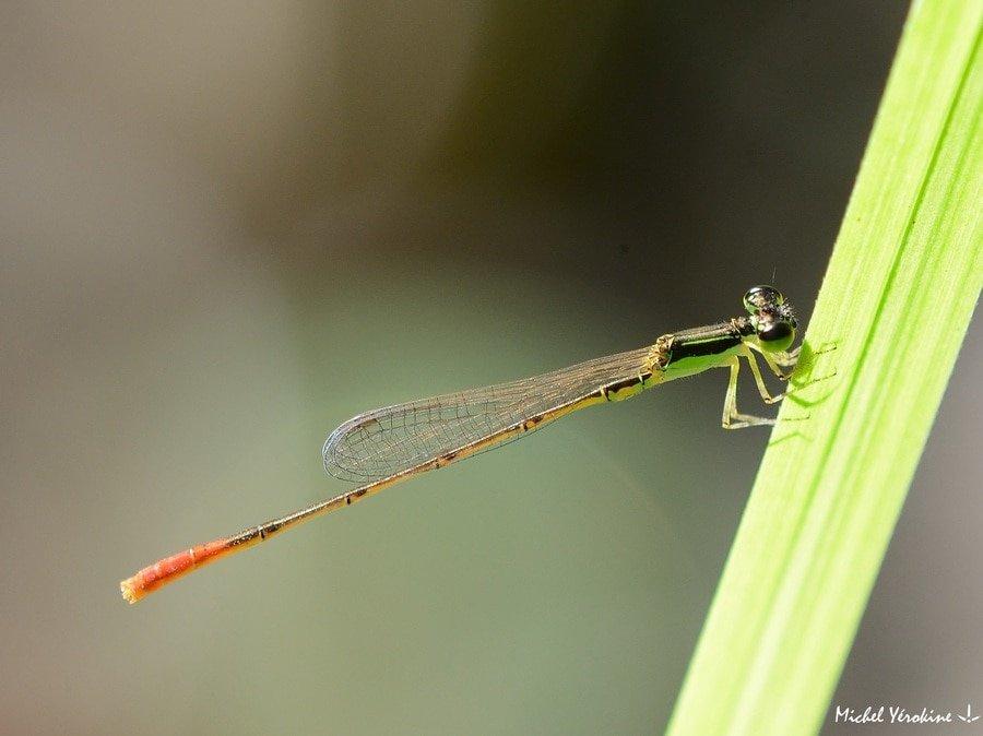 Agriocnemis exilis mâle