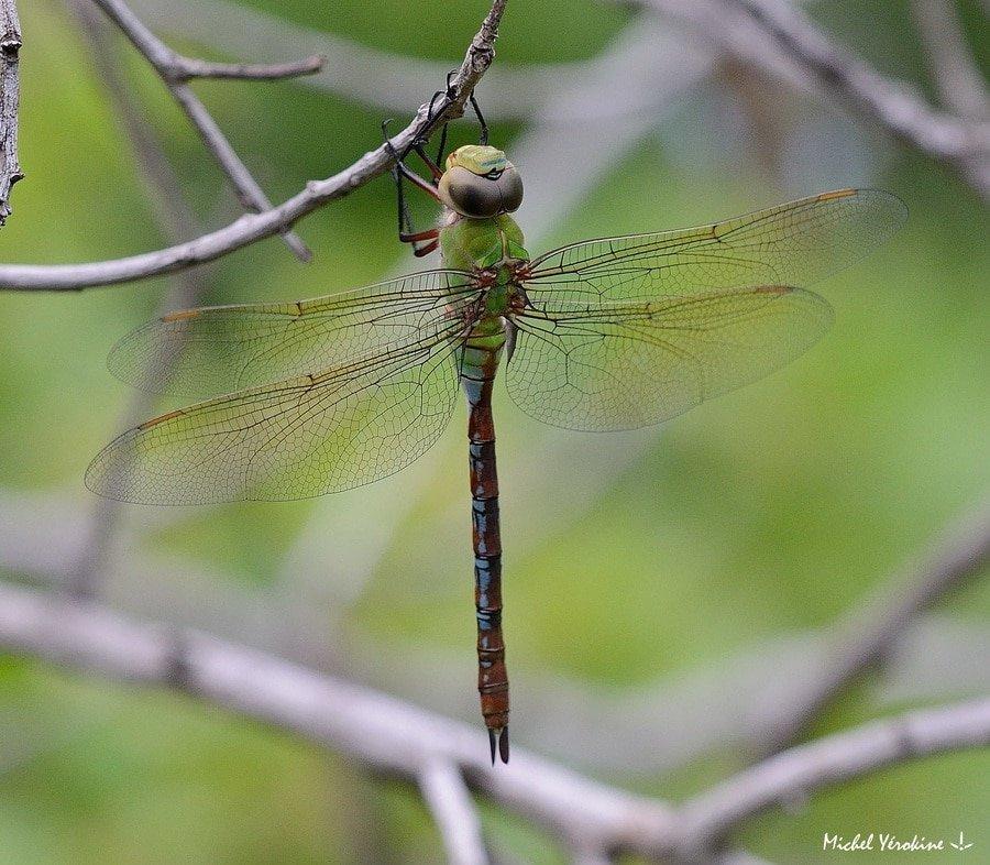 Anax imperator mauricianus femelle