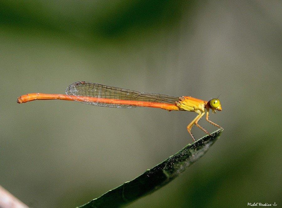Ceriagrion glabrum mâle
