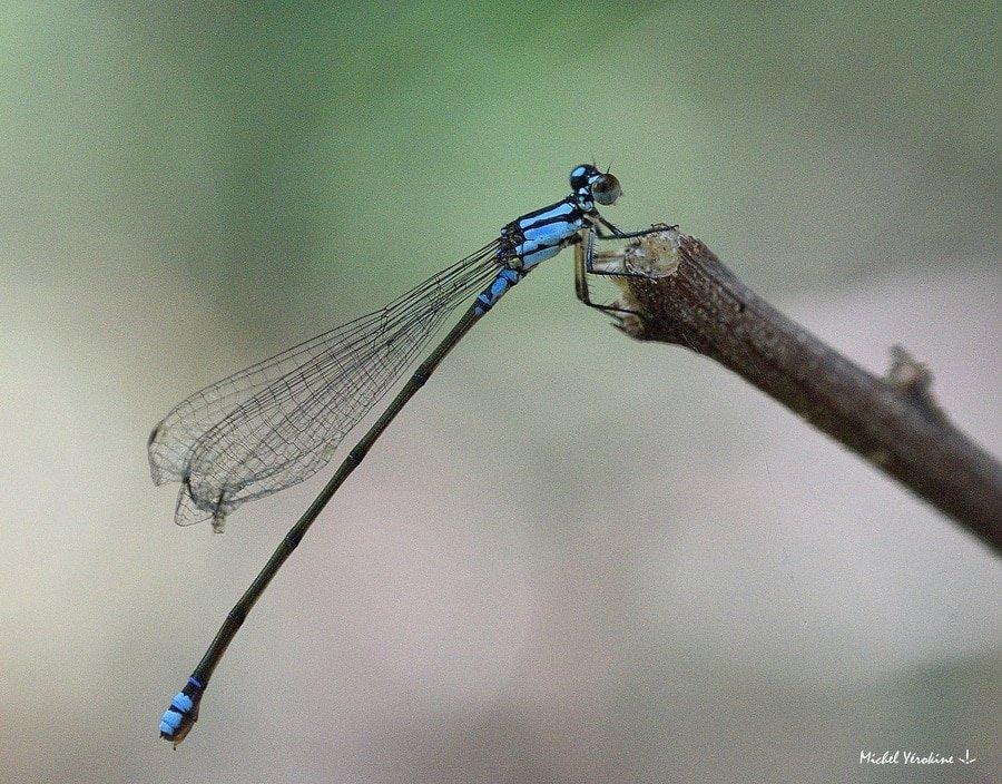 Coenagriocnemis reuniense femelle