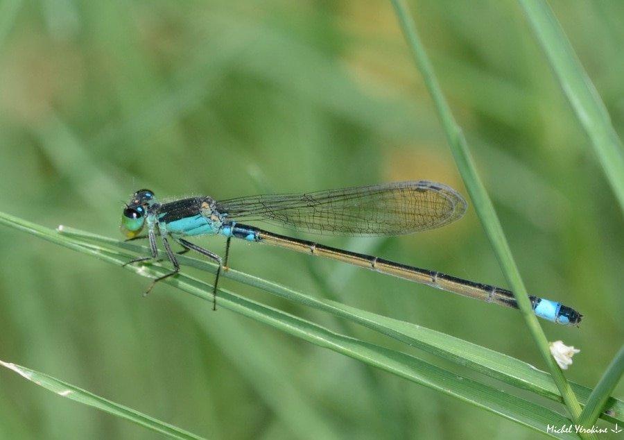 Ischnura senegalensis femelle bleue