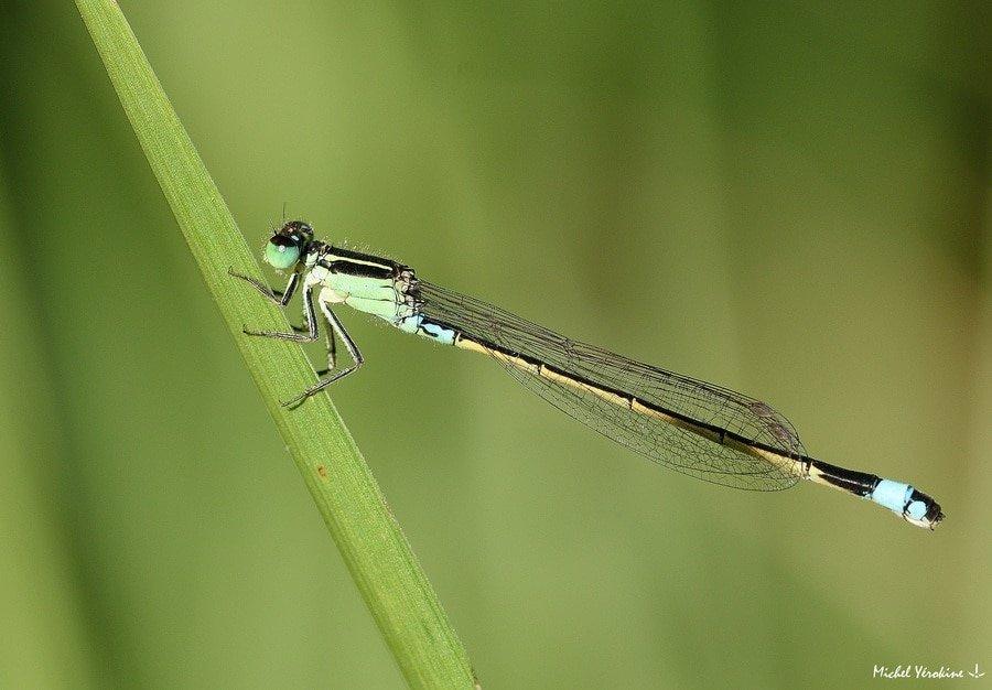 Ischnura senegalensis femelle verte