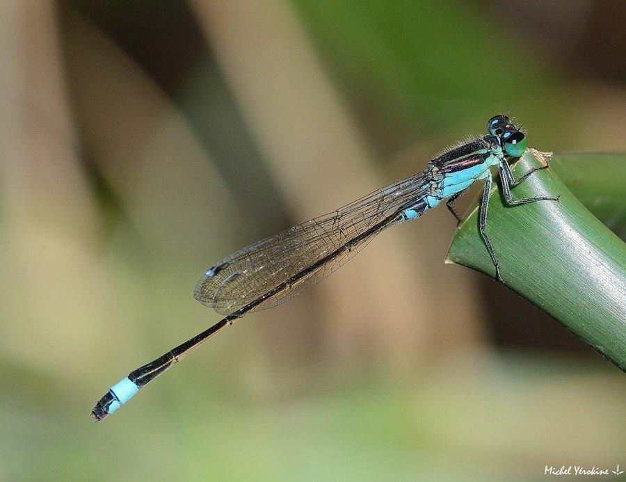 Ischnura senegalensis mâle bleu