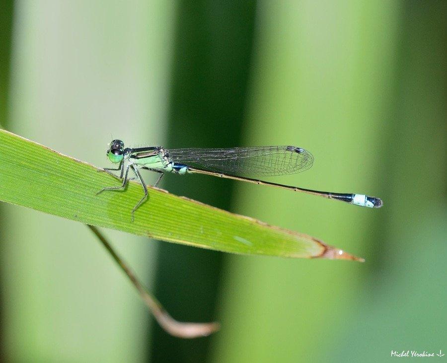 Ischnura senegalensis mâle vert