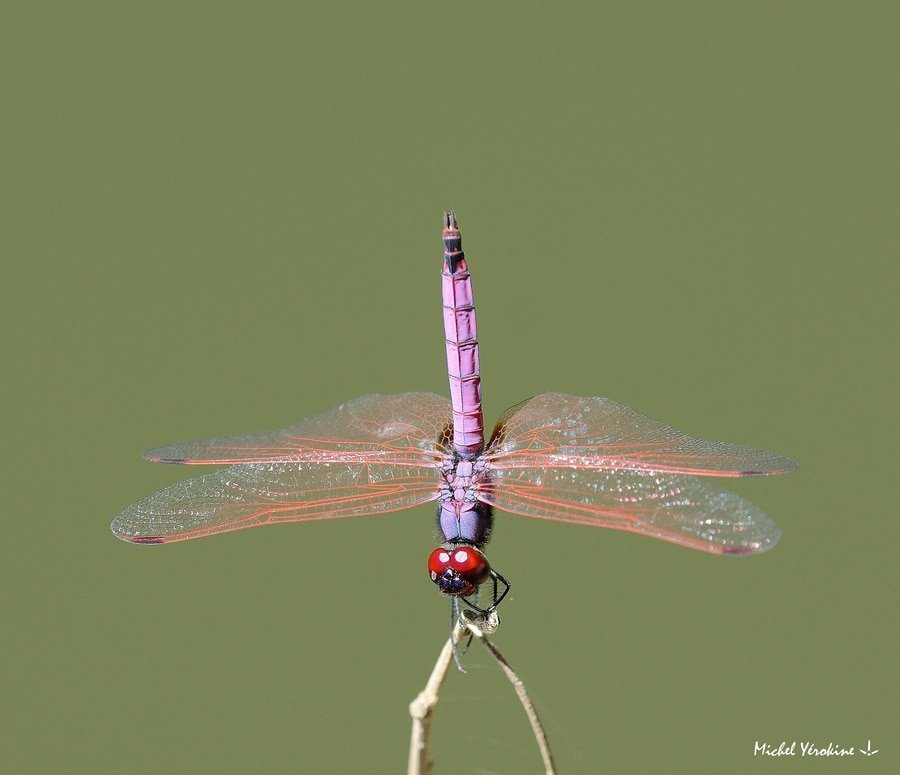 Trithemis annulata  haematina mâle